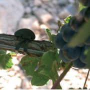 Bandofix on grape vines